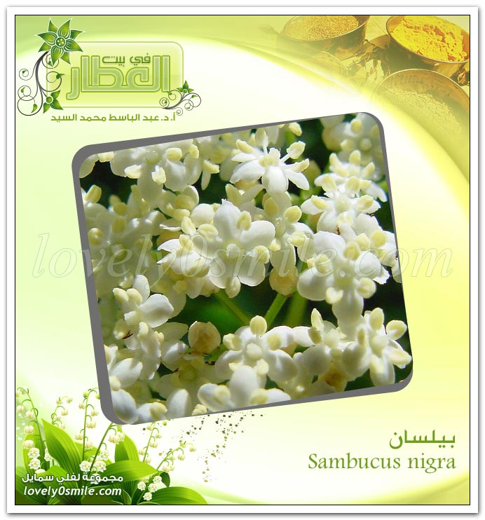 بيلسان - Sambucus nigra