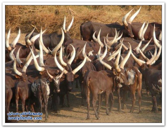 الأحجام الكبيرة لقرون الثيران في أفريقيا