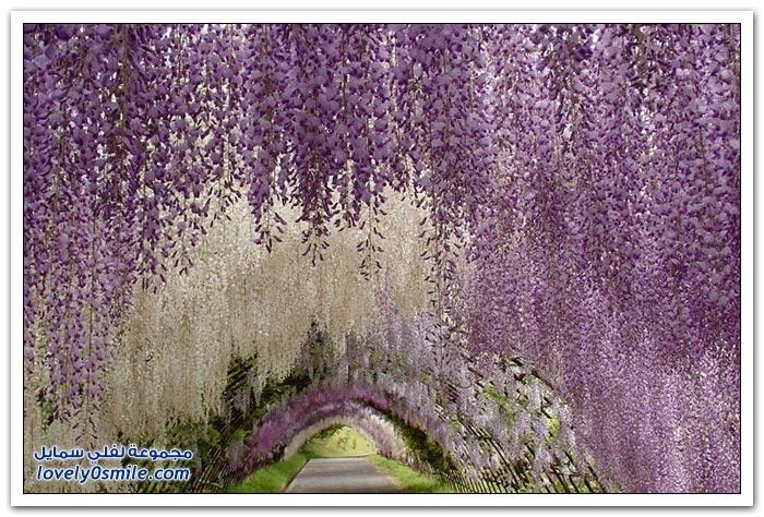 زهرة حديقة أشيكاغا في مقاطعة توشيغي اليابانية