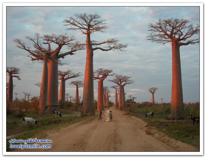 شجرة الباوباب في مدغشقر لفلي سمايل