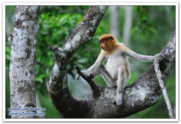 القرد ذو الأنف الطويل - قرد الململة