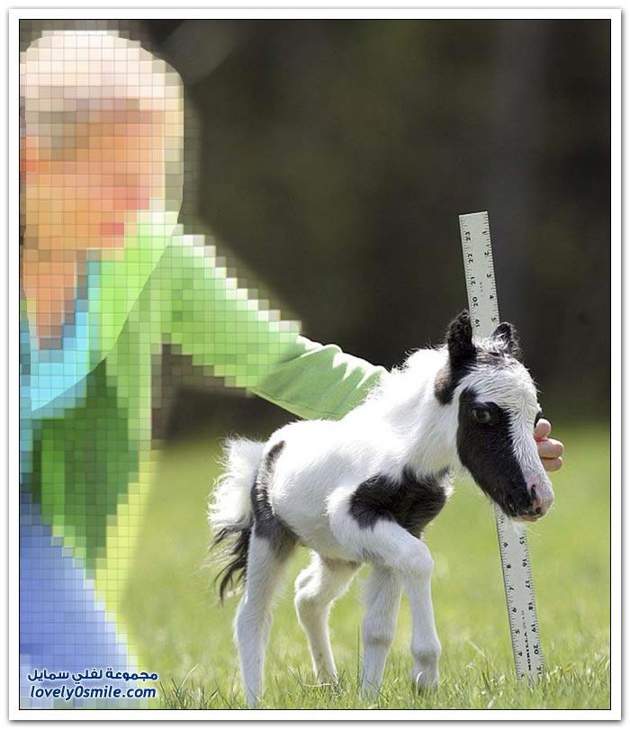 أصغر حصان في العالم