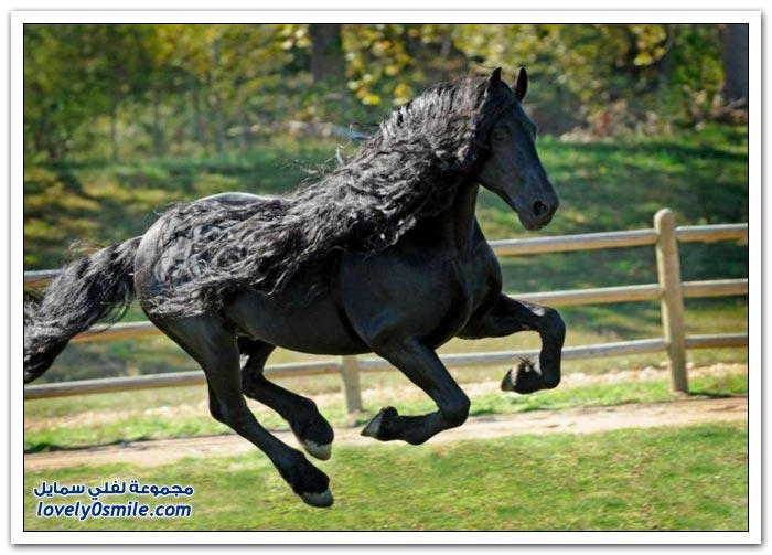 الحصان الأسود الرائع ذو الشعر الطويل