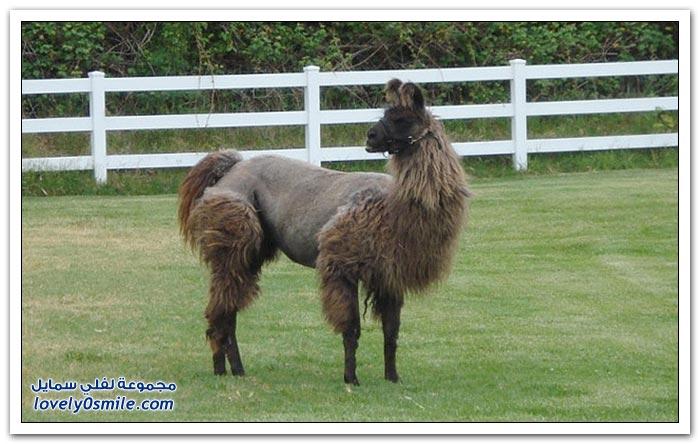 بعض الحيوانات بقصات شعر مختلفة