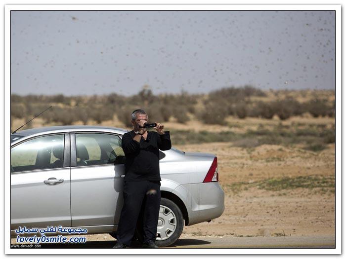 هجرة الجراد على طول ساحل البحر الأحمر