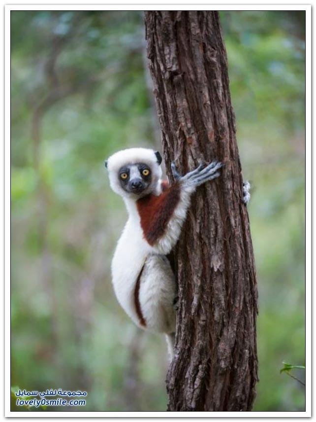 الليمور في مدغشقر