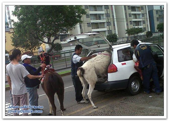 فقط في البيرو ج2
