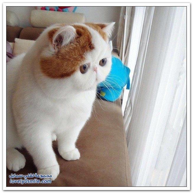 القطة المدللة