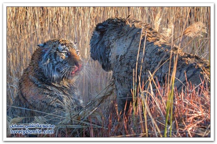القتال من أجل الأرض بين اثنين من النمور