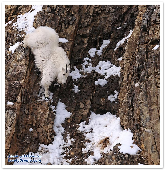 الماعز الجبلي أكثر الحيوانات يخاطر بحياته ليجد الحماية لنفسه