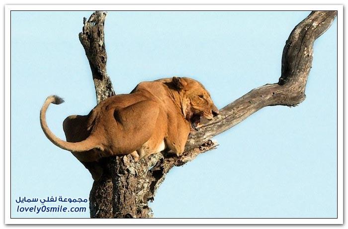 لبوة تهرب من فيل فوق شجرة