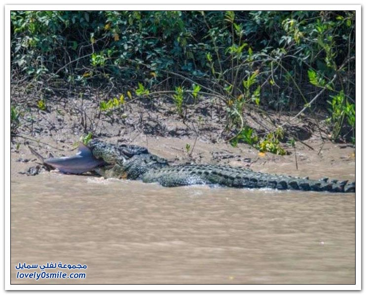 تمساح يقتل سمك قرش