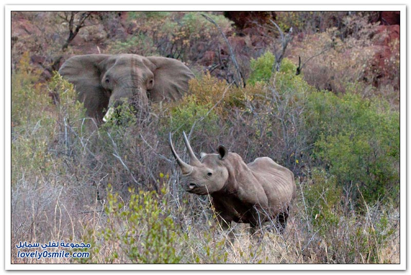 صراع العمالقة بين ذكر فيل وأنثى وحيد قرن تنتهي بمأساة