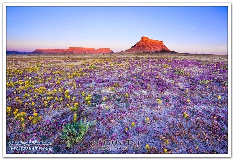 الزهور البرية الصحراوية في هضبة كولورادو