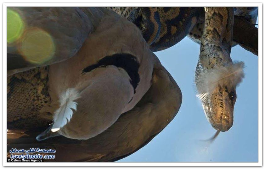 ثعبان يصطاد حمامة فوق الشجرة في جنوب أفريقيا