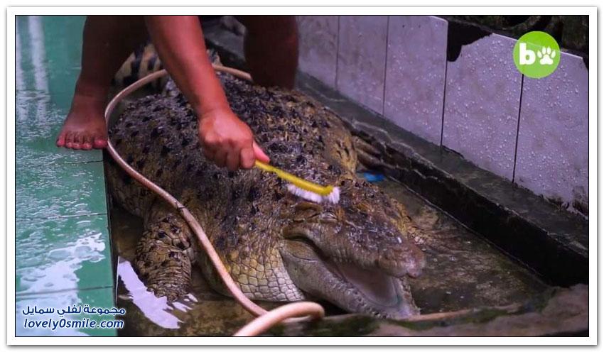 تمساح عملاق يعيش مع عائلة إندونيسية منذ 20 عامًا